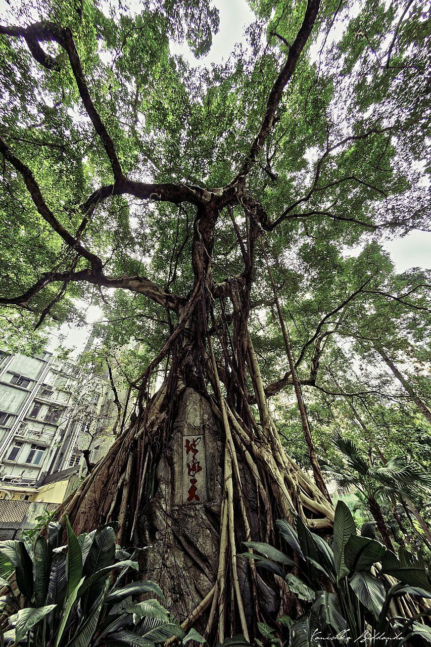 kanishka_biddanda-hk-tree-chinese-DSC_8563