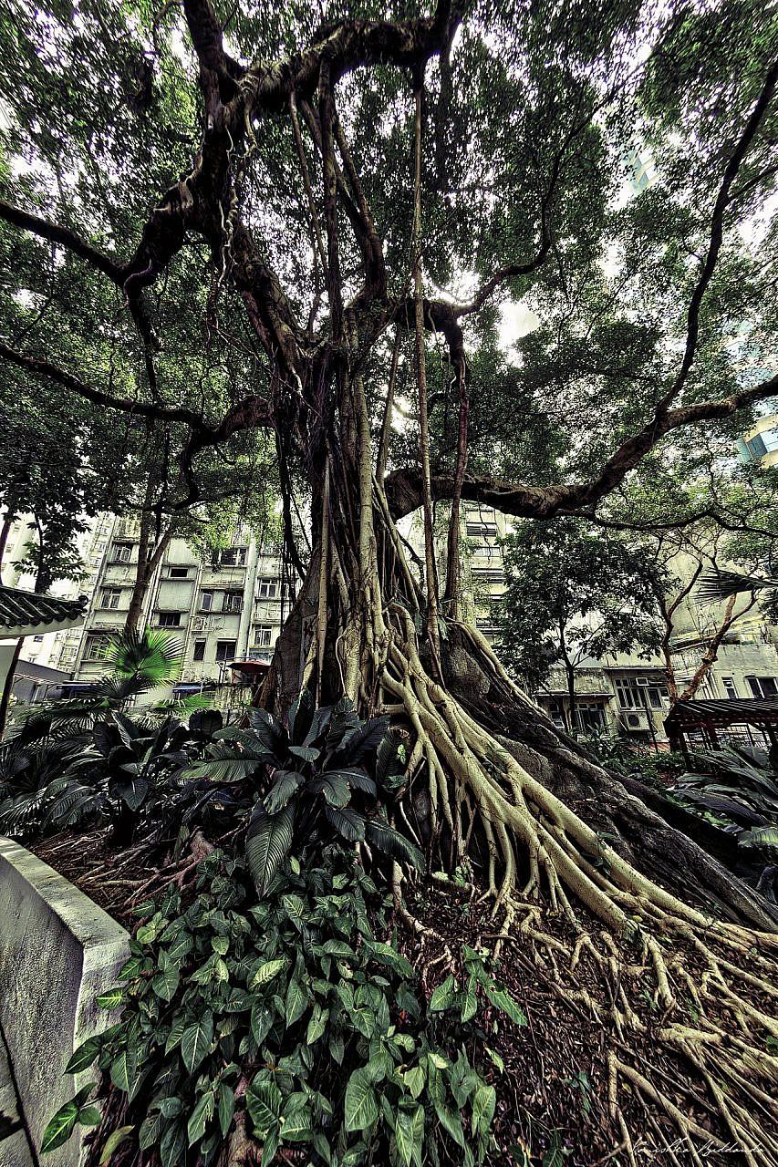 kanishka_biddanda-hk-tree-old-DSC_8557